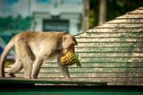 Monkey eat pineapple
