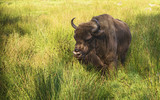 bison in the green grass on a summer day
