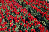 Tulip field on spring sunny day