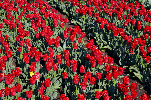 Fotobehang Rood traf. Tulip field on spring sunny day