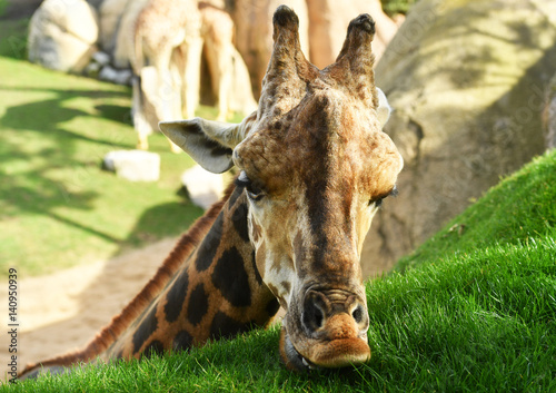 Close-up of a beautiful giraffe eating grass