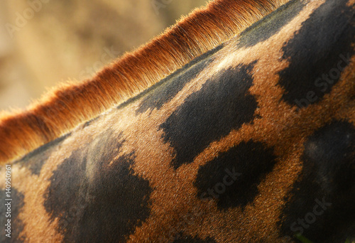 Poster Beautiful giraffe skin textured