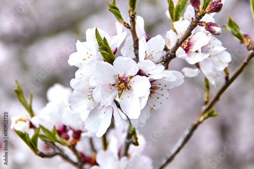 Poster Almond blossoms