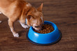 Chihuahua dog eat feed. Bowl of dry kibble food. Healthy pets meal. Blue plate on wooden rustic background.