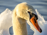 Swan head profile