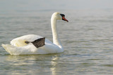 White adult mute Swan (lat. Cygnus olor) dry black paw afloat