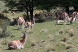 Guanacos in Torres Del Paine, Patagonia, Chile