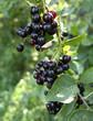 Manitoba Choke Cherry Growing Wild