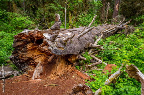 Fallen log, Olympic National Park Poster