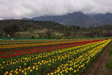 Rows of different coloured tulips in field under overcast skies