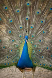 Image of a peacock showing its beautiful feathers. wild animals.