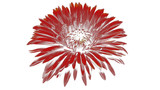 Chrysanthemum, red flower with filter effected
