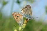 Pair butterflies
