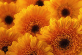 photo of yellow gerberas, macro photography and flowers background. yellow daisy