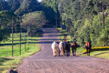 Race Horses Grooms Walking Countryside Road
