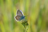 copper-butterfly