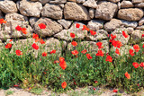 Red poppies and ancient stone walls on a background.