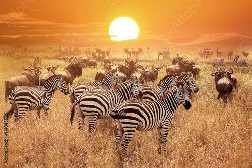 Poster Zebra at sunset in the Serengeti National Park. Africa. Tanzania.