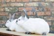 Rabbit breed California