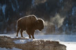 Hoarfrosted bison, Lamar valley, Yellowstone.