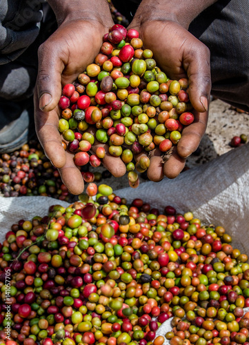 Papiers peints Café en grains Grains of ripe coffee in the handbreadths of a person. East Africa. Coffee plantation. An excellent illustration.