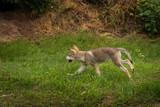 Grey Wolf Pup (Canis lupus) Runs Left