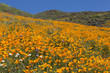Hillside of Poppy Flower in Bloom