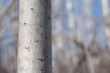 Closeup of Young Aspen Tree