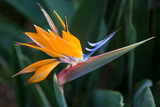 Close up of an Exotic Bird of Paradise Flower - 141091143