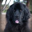 Large headshot of black newfoundland dog with tongue out.