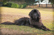 Large black newfoundland dog laying down on dry grass in a park