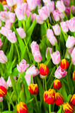 Red and pink tulip flowers field background