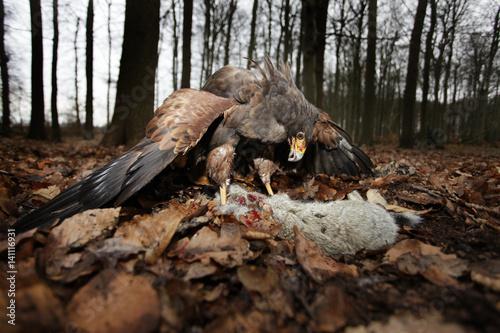 Raubvogel mit Beute im Wald Poster