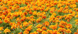 Flowerbed with orange flowers.