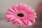 Closeup of gerbera flower in the summer