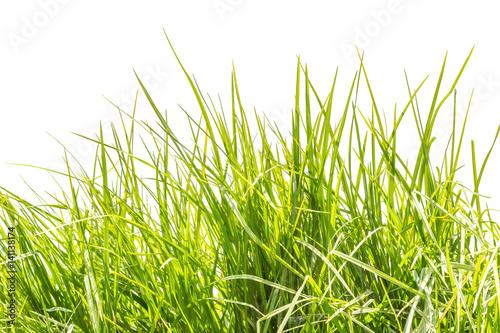 herbe, fond blanc  © Unclesam
