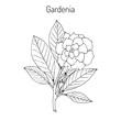 Gardenia jasminoides, gardenia