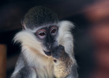 Monkey sad and surprised waiting for miracle