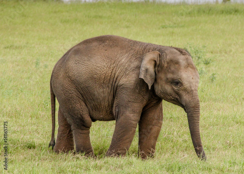 Poster Baby elephant in Sri Lanka