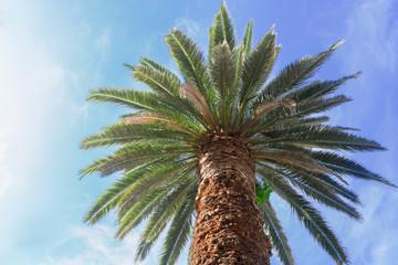 One tropical palm tree on blue sky background