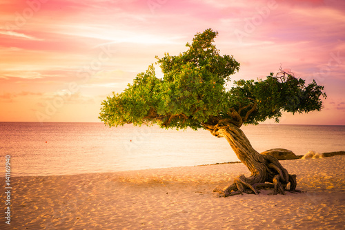 Poster Beautiful divi divi tree at sunset on beach in Aruba