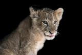 Lion cub on black background