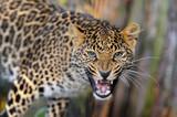 Leopard in nature