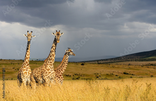 Poster Giraffe in National park of Kenya