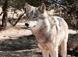 Alaskan Gray Timber Wolf