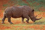 A white rhinoceros (Ceratotherium simum) covered in mud, South Africa.