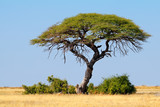 Landscape with a thorn tree and grassland, Etosha National Park, Namibia.