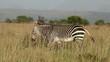 A Cape mountain zebra (Equus zebra) walking in grassland, Mountain Zebra National Park, South Africa