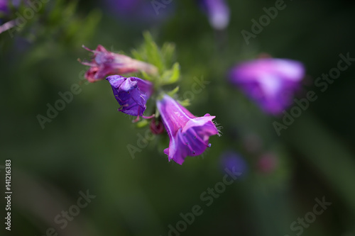 Wild purple flower