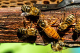The queen bee swarm - selective focus